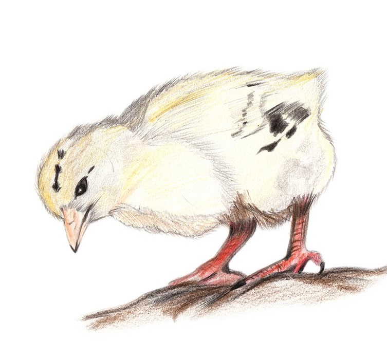Chick coloring