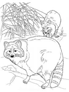 Coloring Page Of A Raccoon