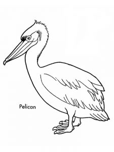 Coloring Pages Of A Pelican