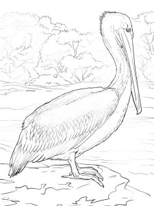 Eastern Brown Pelican Coloring Pages