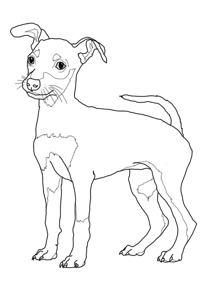 Free Chihuahua Coloring Pages