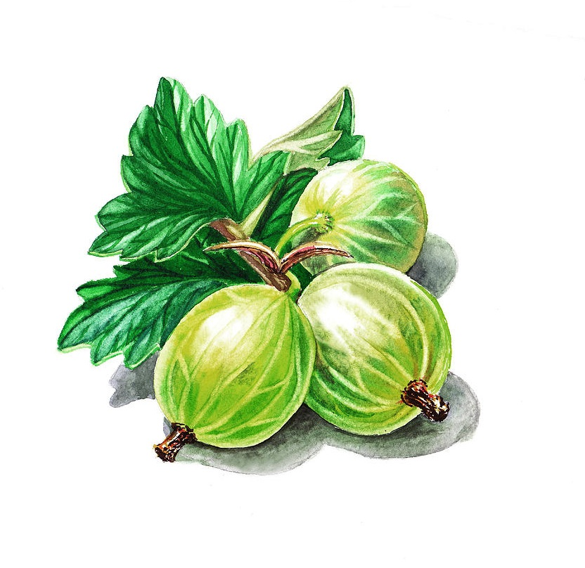 Gooseberry coloring