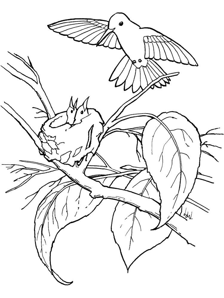 Hummingbird Coloring Pages Finished