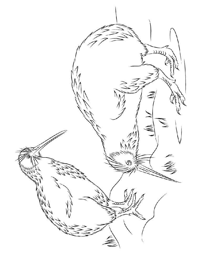 Kiwi coloring pages free image