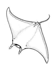Manta Ray Colouring Pages