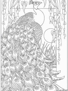 Peacock Coloring Pages 039