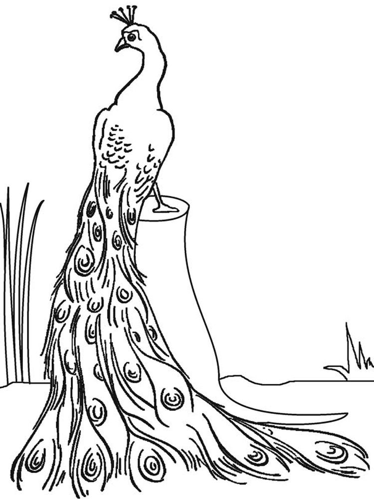 Peacock Coloring Pages To Print