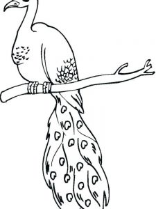 Peacock Colouring In Pages