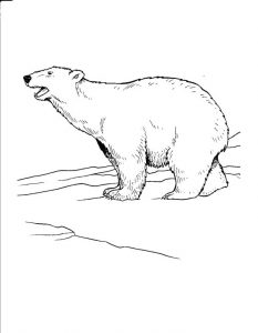 Polar Bear Pictures Coloring Pages