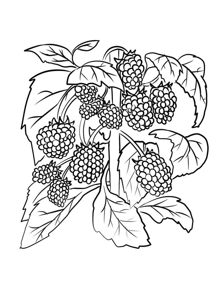boysenberry for coloring