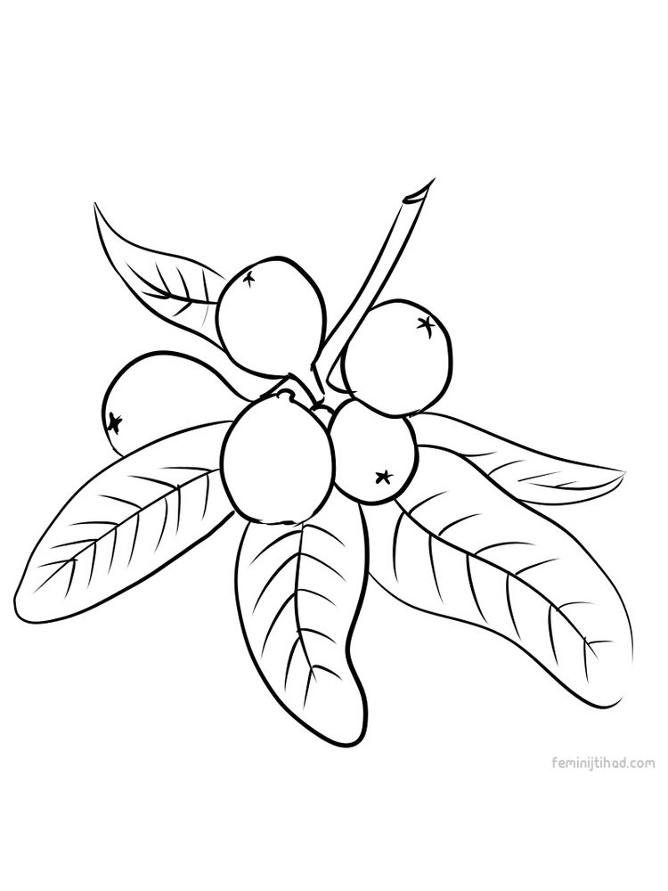 loquat coloring for print pdf