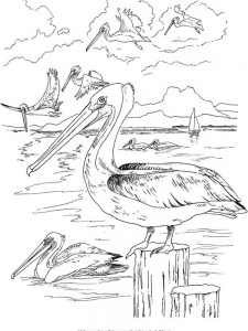 pelican coloring pages 030