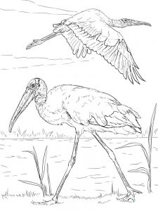 pelican coloring pages color