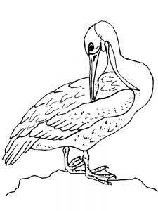 pelican coloring pages print