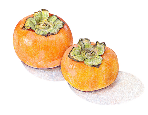 persimmon coloring images free