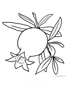 pomegranate image for coloring