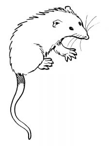 possum coloring pages image