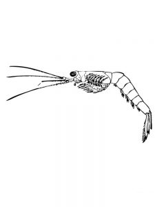 prawn coloring pages pdf