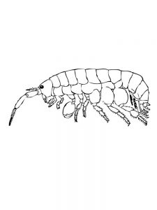 prawn coloring pages printable