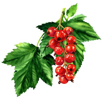 print red currant coloring page