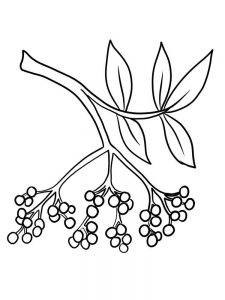 printable elderberry picture for coloring
