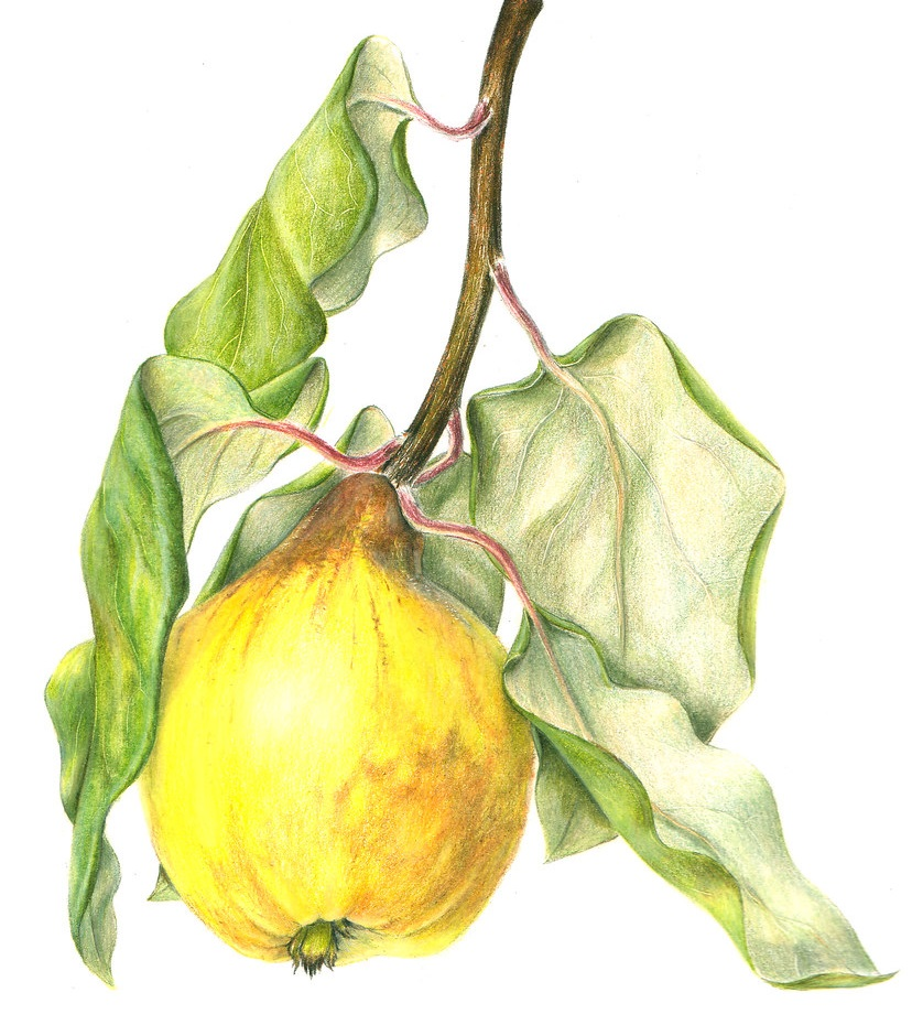 quince coloring image free