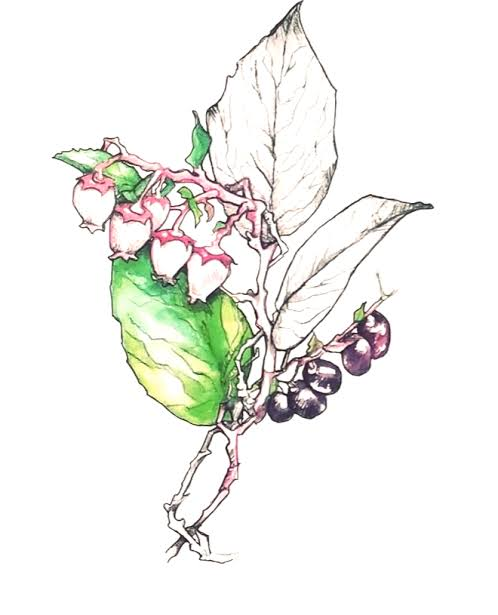 salal berry coloring pages pdf